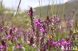 Bergsparcette (Onobrychis montana)