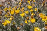 hairy hawkweed (Hieracium longipilum)