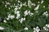 Italiaanse aronskelk (Arum italicum)