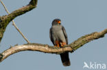 Roodpootvalk (Falco vespertinus)