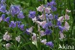 Spaanse hyacint