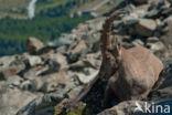 Alpen Steenbok (Capra ibex)