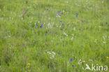 Bergklaver  (Trifolium montanum)