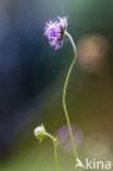 Blauwe knoop (Succisa pratensis)