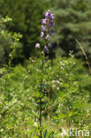 Blauwe monnikskap (Aconitum napellus)