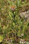 Driedistel (Carlina vulgaris)