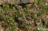 Echte gamander (Teucrium chamaedrys)