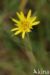 Gele morgenster (Tragopogon pratensis ssp. pratensis)