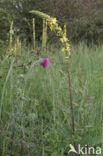 Knikkende distel (Carduus nutans)