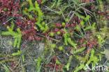 Moeraswolfsklauw (Lycopodium inundatum)