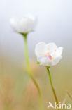 Parnassia (Parnassia palustris)