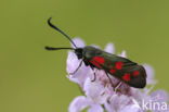 Sint-Jansvlinder (Zygaena filipendulae)