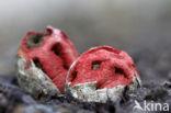 Traliestinkzwam (Clathrus ruber)