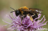 Tweekleurige zandbij (Andrena bicolor)