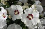 Althaeastruik (Hibiscus)