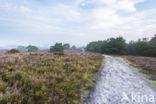 Dorset heath