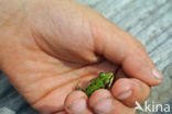 Groene kikker complex (Rana esculenta
