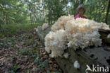 Kammetjesstekelzwam (Hericium coralloides)