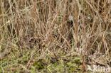 Watersnip (Gallinago gallinago)