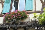 Geranium (Pelargonium spec)
