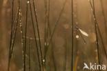 Gewone pantserjuffer (Lestes sponsa)