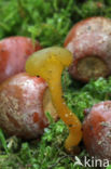 Groene glibberzwam (Leotia lubrica)