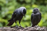 Kauw (Corvus monedula)