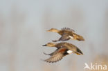 Krakeend (Anas strepera)