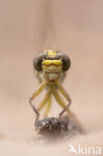 Rivierrombout (Gomphus flavipes)