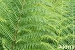Wijfjesvaren (Athyrium filix-femina)
