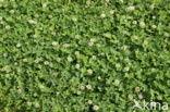 Witte klaver (Trifolium repens)