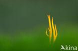 Koraalzwam (Clavulinopsis cinerioides)
