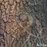 Dwerguil (Glaucidium passerinum)