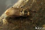 Pomatinus substriatus