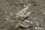 Amerikaanse krokodil