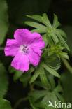 Bloedooievaarsbek (Geranium sanguineum)