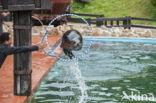Californische zeeleeuw (Zalophus californianus)