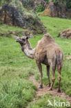 Dromedaris (Camelus dromedarius)
