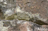 Muurhagedis (Podarcis muralis)