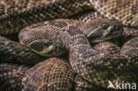 Texaanse ratelslang (Crotalus atrox)