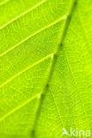 Amerikaanse beuk (Fagus grandifolia)