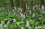 Bosorchis (Dactylorhiza maculata subsp. fuchsii)