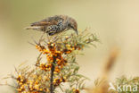 Spreeuw (Sturnus vulgaris)