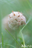 Aardbeiklaver (Trifolium fragiferum)