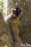 Bruine lemur (Eulemur fulvus)
