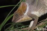 Coquerels kroonsifaka (Propithecus coquereli)