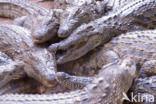 Crocodylus niloticus madagascariensis