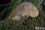 Korthoornkameleon (Calumma brevicornis)