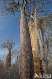 Adansonia rubrostipa