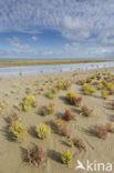 Kortarige zeekraal (Salicornia europaea)